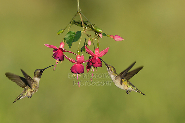 Black-chinned Hummingbird (Archilochus alexandri), adult male and female feeding on blooming Fuchsia, Hill Country, Texas, USA
