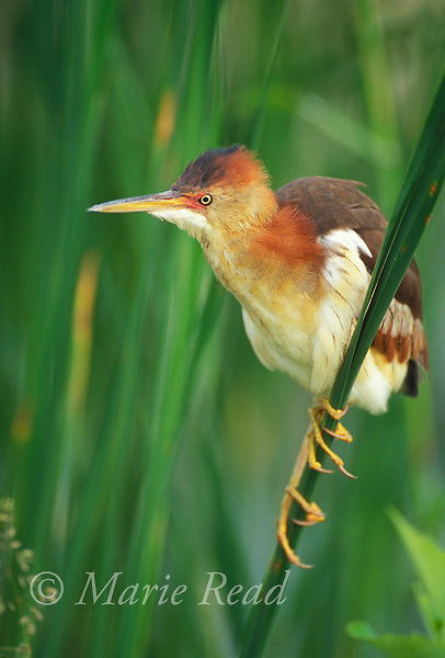 Least Bittern (Ixobrychus exilis) female perched on cattail stem, Montezuma National Wildlife Refuge, NY, USA<br /> Slide # B17-1841