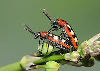 Asparagus Beetle - Crioceris asparagi<br /> mating pair