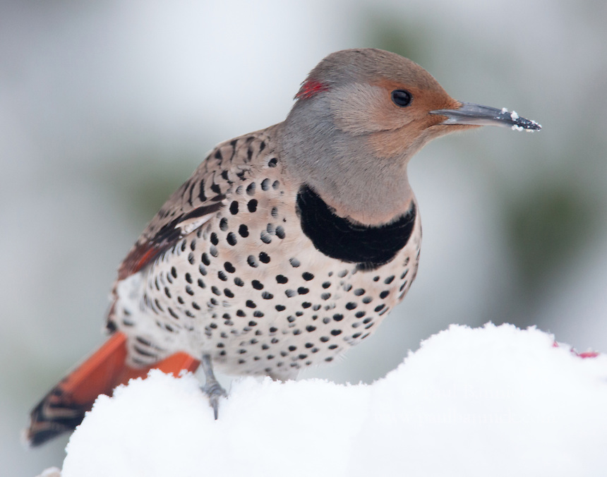 A female Northern Red-shafted Flicker shows signs of Yellow-shafted bloodlines with the red crescent on her nape, the brown wash on her face and the gray invading the brown on her cap.