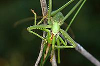Große Sägeschrecke, Weibchen, Saga pedo, Predatory bush cricket, Predatory bush-cricket, Spiked Magician, female, Tettigoniidae