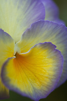 &quot;Soft Pansy Face&quot;<br />