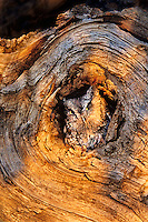 577990002 a wildlife rescue western screech-owl otis kennecottii perches in a knothole in a large tree limb in colorado