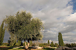"""Israel, the Shephelah. An Olive tree by the """"Tombs of the Macabees"""""""