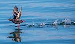 USA, Alaska, Glacier Bay National Park ,  pigeon guillemot (Cepphus columba)