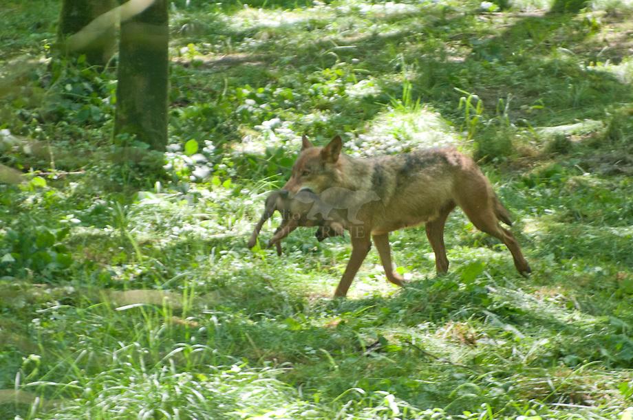 Wolf (Canis lupus), vrouwtje met jong in de bek