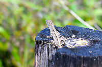 Brown Anole photographed in the Arthur Marshall Loxahatchee Preserve Cypress Swamp, Boynton Beach, Florida.