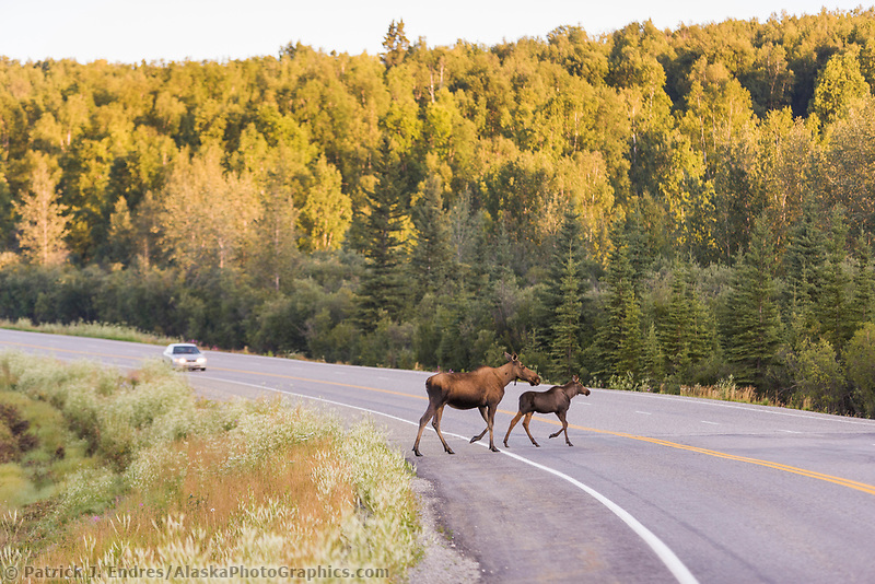 Cow and calf moose run across the Richardson Highway.