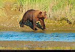Alaskan Coastal Brown Bear, Male Crossing Creek at Sunset, Silver Salmon Creek, Lake Clark National Park, Alaska