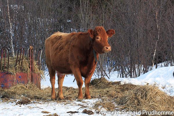 Saler beef cow outside in winter beside hay feeder