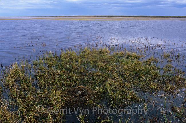 Nest and eggs of a Pacific Loon (Gavia pacifica) in a tundra wetland. Arctic Coastal Plain, Alaska. June.