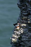A Puffin {Fratercula arctica} Perched on a Cliff Face at Bempton Cliffs
