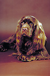 Sussex Spaniel in the studio