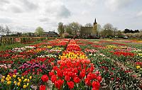 Hortus Bulborum in Limmen.  In de tuin staan meer dan 4000 soorten bloemen. De hortus, waarin voornamelijk tulpen staan, is in 1928 opgericht. Hortus Bulborum is net als de tuin van de KAVB in Lisse een proeftuin, waar nieuwe soorten worden gekweekt. Op de achtergrond de Protestantse kerk van Limmen