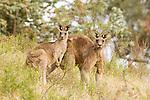 Eastern Grey Kangaroo (Macropus giganteus) female and male in scrubland, Mount Taylor Nature Reserve, Canberra, Australian Capital Territory, Australia