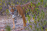 Tiger Ranthambore National Park, India