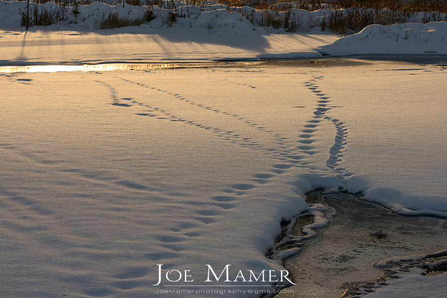 Animal tracks lead from open water across the snow covered ice in the Long Meadow Lake Unit of the Minnesota Valley National Wildlife Refuge.