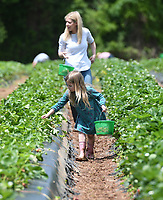 NWA Democrat-Gazette/J.T. WAMPLER Audrey Dacus, 6, picks strawberries with her mom, Leslie Dacus of Fayetteville Sunday May 12, 2019 at the Reagan Family Farm in south Fayetteville. They expect to be picking strawberries into early June. The farm also produces blueberries in starting in June and pumpkins in the fall.