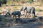 Mama Elephant and Baby Foraging in Chobe National Park in Botswana in Africa
