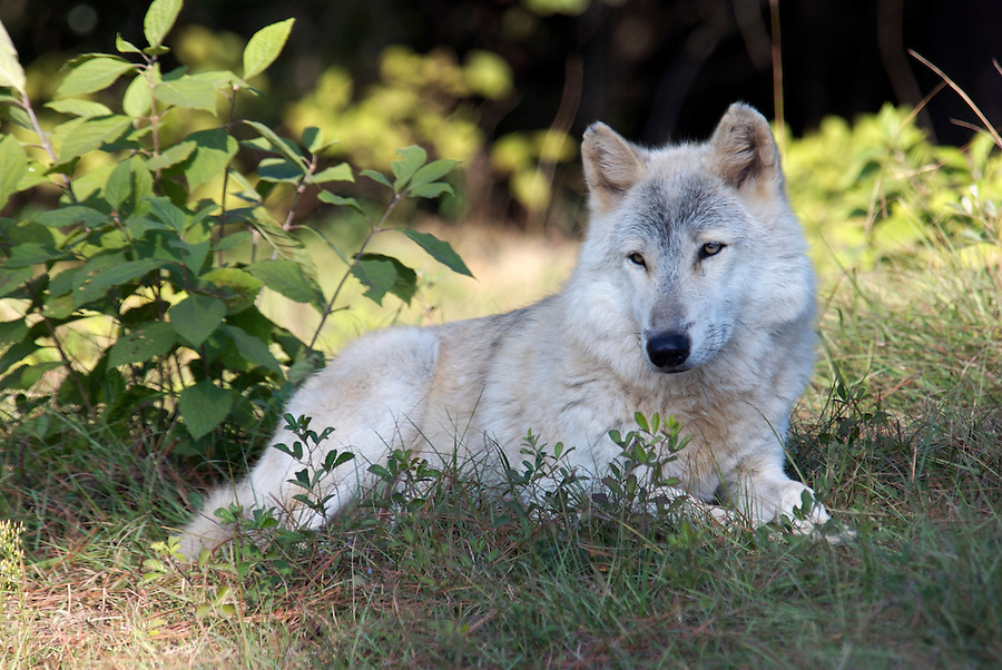 Gray Wolf in Natural Habitat