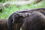 Anteater baby riding on mom's back