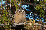 Great horned owlets. Yellowstone National Park, Wyoming.