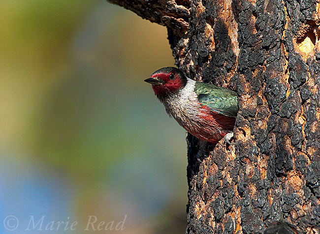 Lewis's Woodpecker (Melanerpes lewis) looking out of its nest hole in a burned Jeffrey Pine, Mono Lake Basin, California, USA