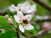 A bee covered in pollen forages an apple blossom.<br /> Une abeille couverte de pollen butine une fleur de pommier.