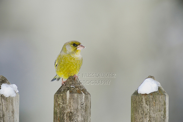 European Greenfinch (Carduelis chloris), male perched on fence with snow, Zug, Switzerland, December 2007