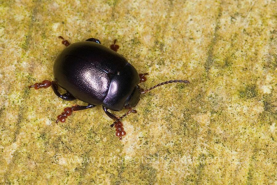 Violetter Blattkäfer, Chrysolina sturmi, Chrysomela sturmi, Chrysomela violacea, Chrysomela göttingensis var. sturmi, Leaf beetle, Leaf-beetle