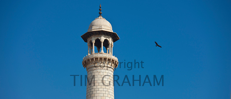 Minaret of The Taj Mahal mausoleum and Indian black kite bird, Uttar Pradesh, India