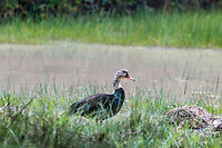 White-winged duck - an endangered species