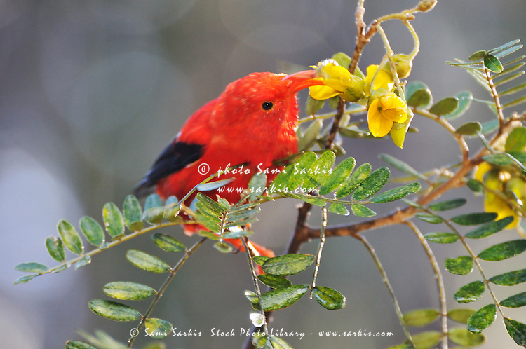 One 'I'iwi bird extracting nectar from yellow tree flowers in Maui, Hawaii Islands, Hawaii, USA.