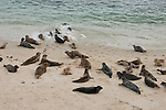 Harbor seals lay on the children's pool beach in La Jolla, California