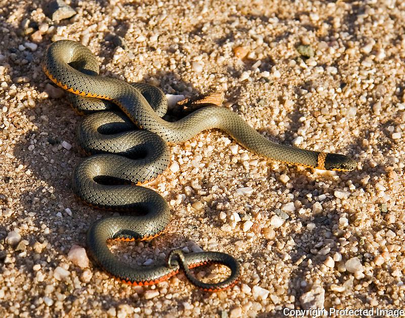 Ring-Necked Snake (Diadophis punctatus)
