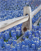 Another angle of the field of  bluebonnets surrounding a fencepost in the Texas Hill Country.