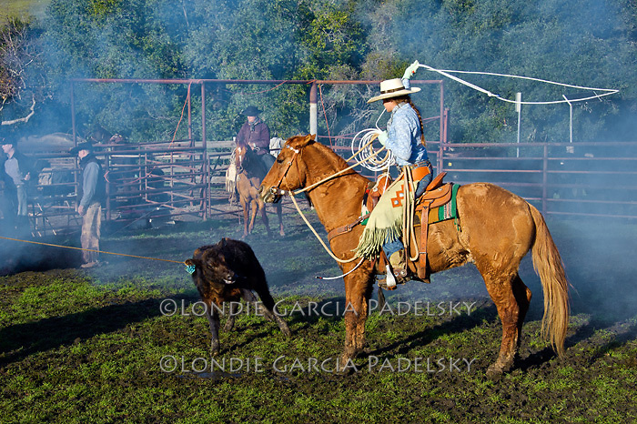 Students in the Animal Science Department at  Cal Poly learn to rope at a cattle roundup at the Escuela Ranch, Cal Polytechnic State University, San Luis Obispo, California