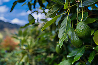 Unripe avocados are seen growing on a tree at a farm near Sonsón, Antioquia department, Colombia, 15 October 2019. Over the past decade, the Colombian avocado industry has experienced massive growth, both as a result of general economic development in Colombia, and the increased global demand for so-called superfood products. The geographical and climate conditions in Antioquia (high altitude, no seasonal extremes, high precipitation rate) allow two harvest windows of the Hass avocado variety across the year. Although the majority of the Colombian avocado exports are destined towards Europe now, Colombia aspires to become one of the major avocado suppliers to the U.S. market in the near future.
