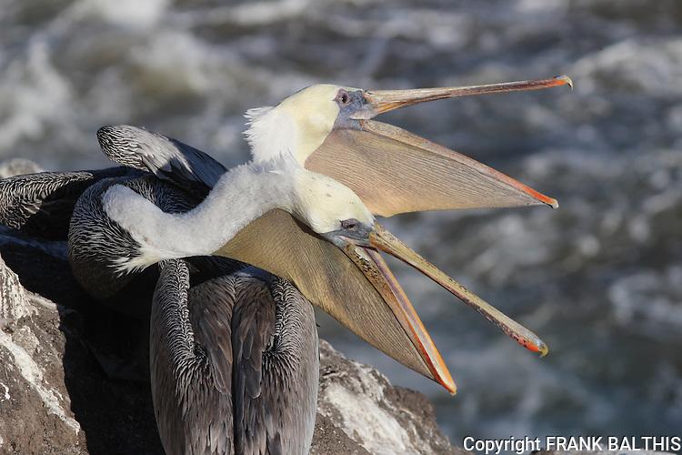 Brown pelicans in Pismo Beach