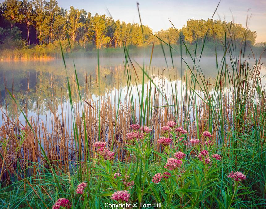 Joe Pye weed at Sndyers Bend Park, Iowa Missouri River