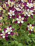 Columbine, Aquilegia Swan Violet & White