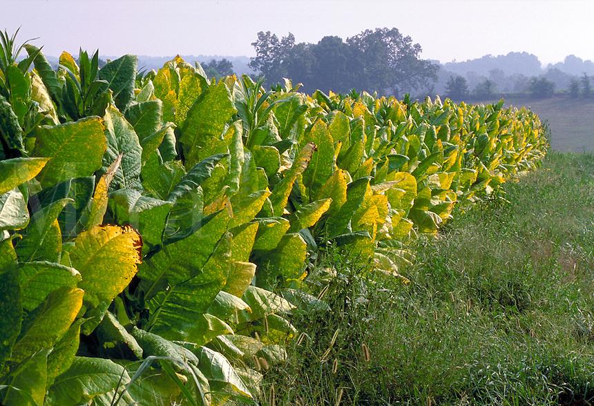 Tobacco (Nicotania tabacum) field in Grayson county, near Madisonville, Kentucky. Madisonville Kentucky.