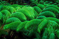 Fern and ohia forest in Hawaii Volcanoes National Park, Big Island