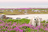 polar bear, Ursus maritimus, walking in purple fireweed flowers, Chamaenerion angustifolium, on an island at Hubbart Point, Hudson Bay, Churchill, Manitoba, Canada, Arctic Ocean