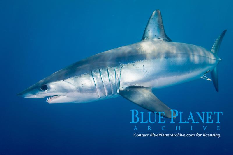 Shortfin Mako Shark - Isurus oxyrinchus. San Diego, California, eastern Pacific Ocean