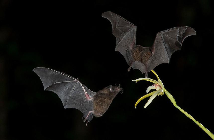 Leaf-nosed bat, nectar feeding on orchid flower Costa Rica