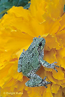 FR15-042a  Gray Tree Frog - on marigold flower - Hyla versicolor