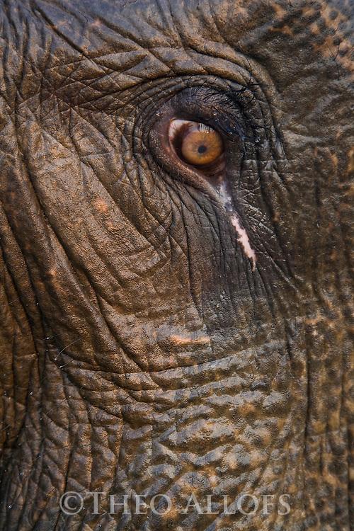 India, Kaziranga National Park, Eye of Indian elephant (Elephas maximus indicus)