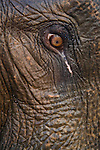 India, Kaziranga National Park, Eye of Indian elephant (Elephas maximus indicus)