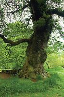 Cadzow Oaks, Chatelherault, South Lanarkshire